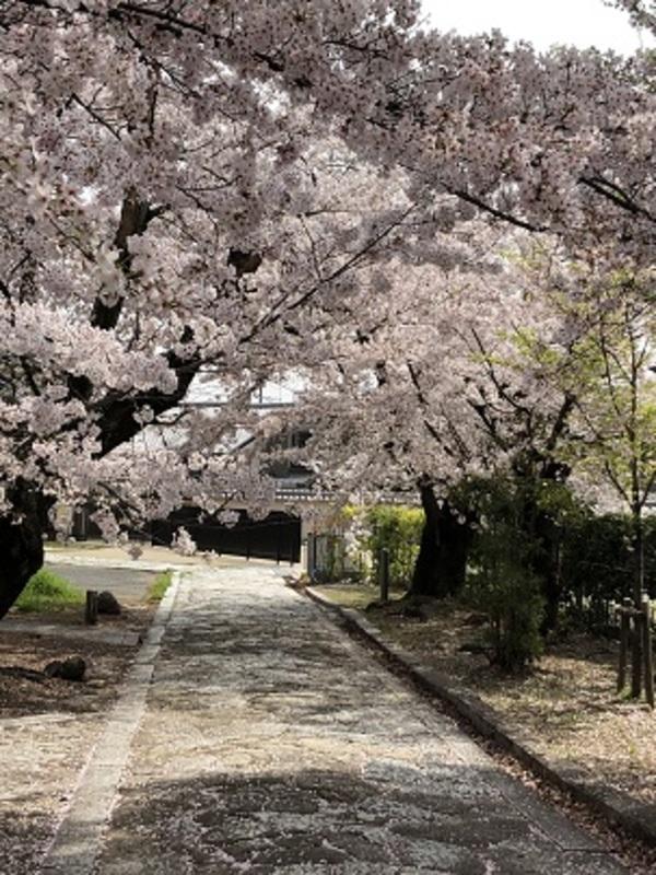 静かに桜満開!