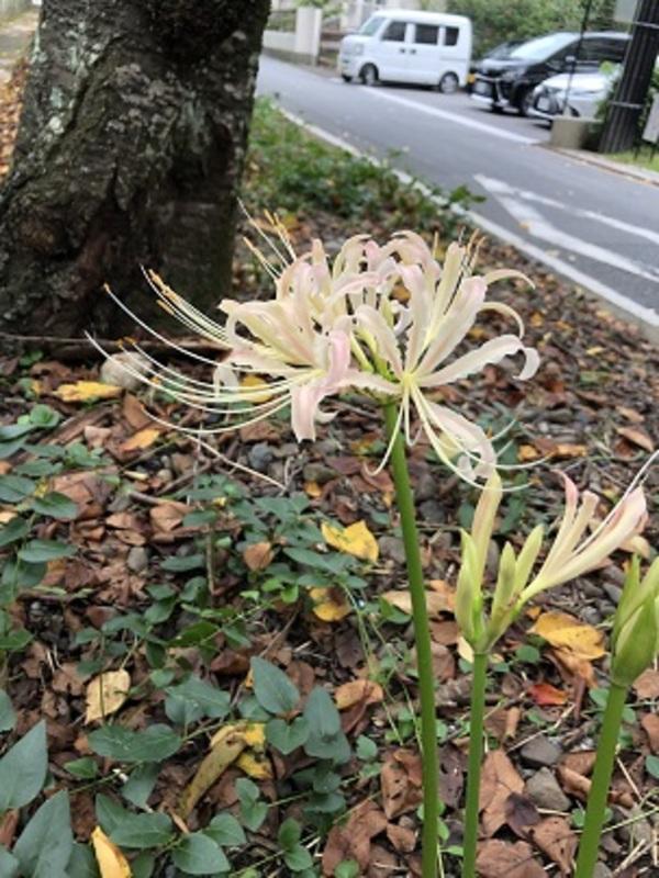 平野神社の彼岸花